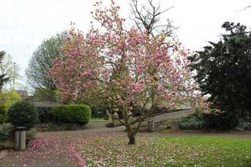smallfulhamtree